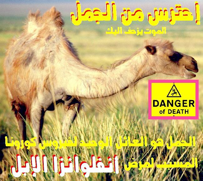 إقتلوا الإبل لإنقاذ الإنسان فالإبل هى العائل الوحيد لفيروس أنفلوانزا الإبل القاتل